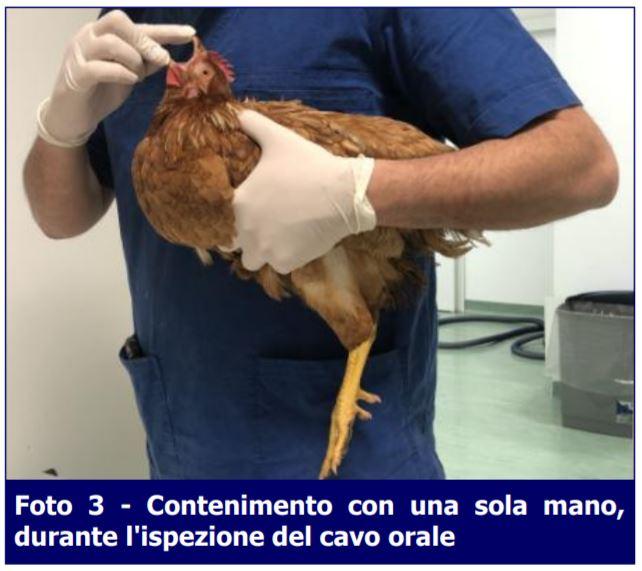 Contenimento-pollo-Missione Veterinario-ECM-MEI