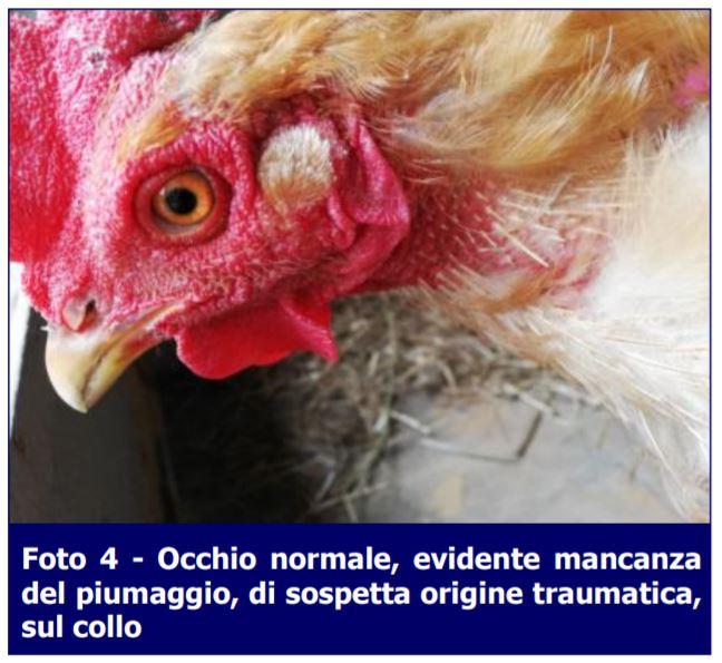 Occhio-pollo-Missione Veterinario-ECM-MEI