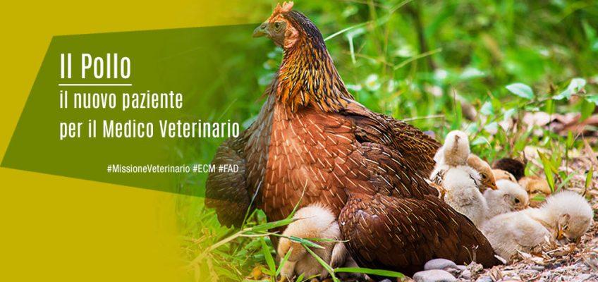 Il Pollo: il nuovo paziente per il Medico Veterinario