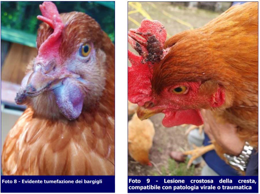 Tumefazione-bargigli-lesione-cresta-pollo-Missione Veterinario-ECM-MEI